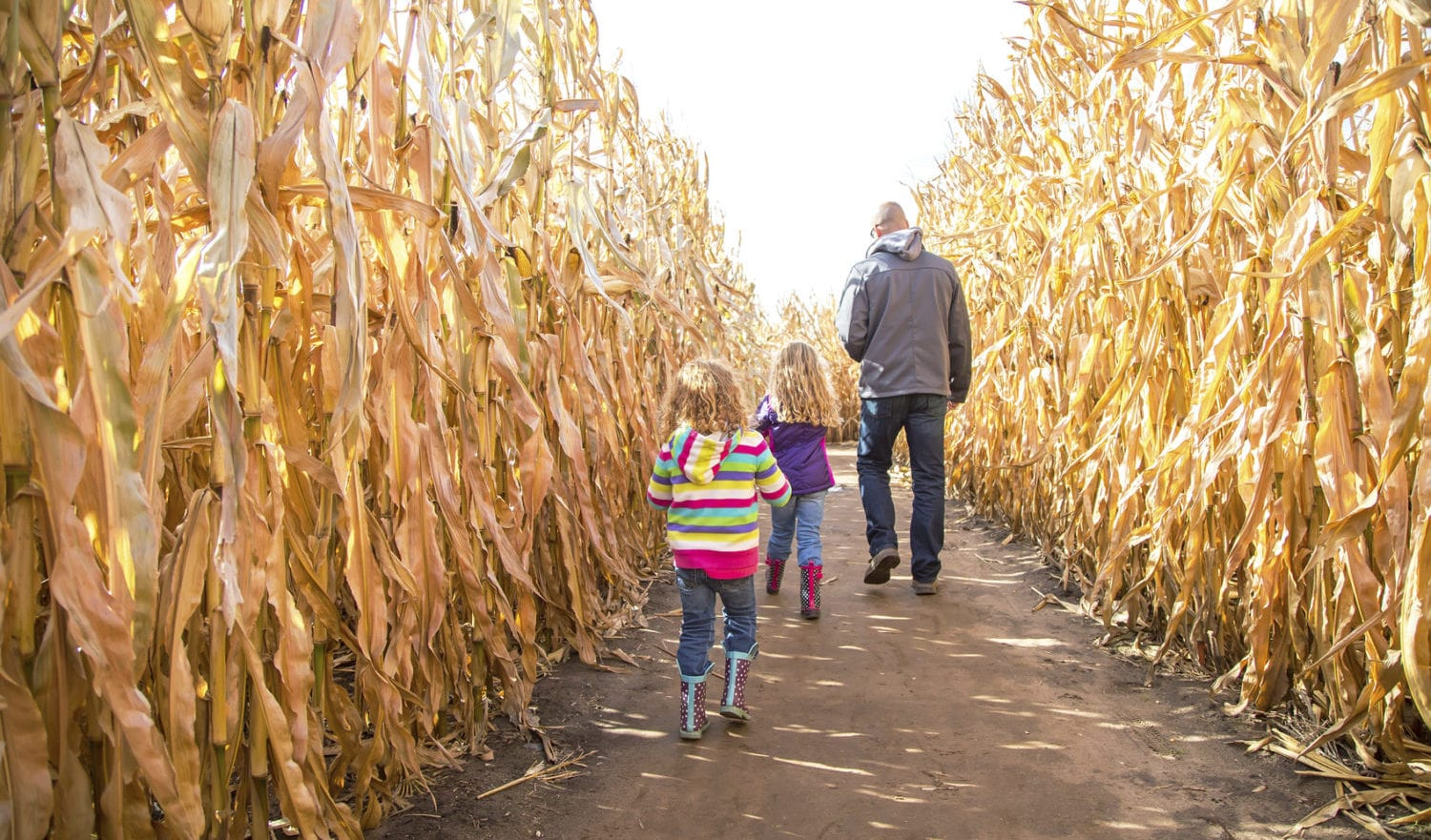 Rear view of two young girls (sisters) walking with Dad through an autumn corn maze. The youngest sister is nearest the camera, while her older sister and Dad walk ahead of her trying to find their way throught the maze.
