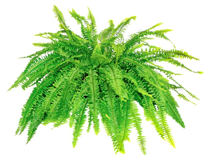 Large Boston Compacta Fern Isolated on White